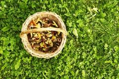 Panier avec les champignons de couche comestibles Image libre de droits