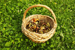 Panier avec les champignons de couche comestibles Photo libre de droits