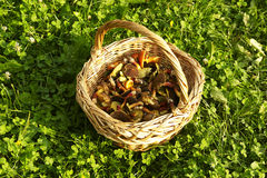 Panier avec les champignons de couche comestibles Photographie stock