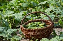 Panier avec les concombres frais Photo stock
