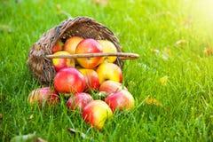 Panier avec les pommes fraîches dans l'herbe photo stock