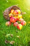 Panier avec les pommes fraîches dans l'herbe image libre de droits