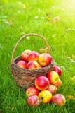 Panier avec les pommes fraîches dans l'herbe photos stock