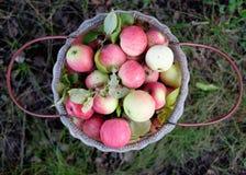 Panier avec les pommes rouges Images libres de droits
