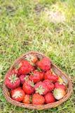 Panier complètement des fraises fraîches sur le fond d'herbe juste Photos stock