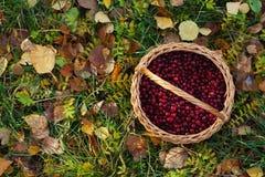 Panier de canneberges sur des feuilles d'automne photographie stock libre de droits