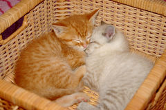 Panier de chatons Photo libre de droits