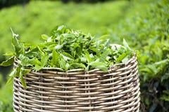Panier de feuille de thé Photo stock