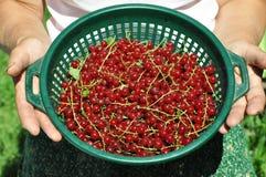 Panier de groseille rouge Images stock