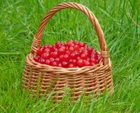 Panier de groseille rouge Image libre de droits