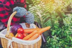 Panier de participation d'agriculteur des tomates fraîches, carottes, chou à la ferme extérieure Nourriture, légumes, agriculture photo libre de droits