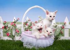 Panier de ressort avec trois chatons blancs dans un jardin Image stock