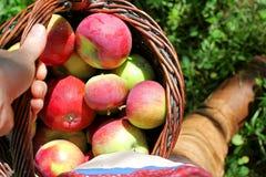 Panier de transport de la main de la femme des pommes récemment récoltées photographie stock