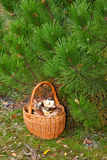 Panier de Wattled avec des champignons Photo libre de droits