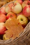 Panier de Wattled avec des pommes parmi des lames d'érable Photo libre de droits