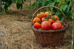 Panier de Wattled rempli de tomates mûres rouges Autumn Harvest images libres de droits