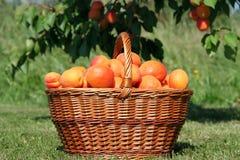 Panier des abricots Photographie stock