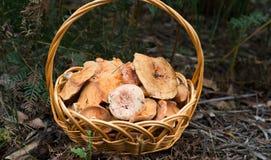 Panier des champignons de pin Images libres de droits