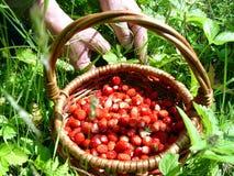 Panier des fraises Images libres de droits