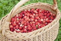 Panier des fraisiers communs Images libres de droits