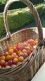 Panier des prunes de mirabelle Image stock