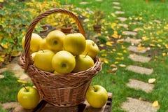 Panier en osier avec les pommes jaunes Images libres de droits