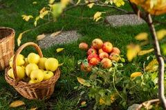 Panier en osier avec les pommes jaunes Photo stock