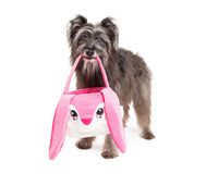 Panier pyrénéen de Dog Carrying An Pâques de berger Photographie stock