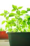Panier vert avec le basilic Photos stock
