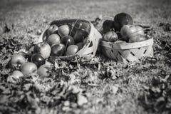 Paniers d'Autumn Apples à la lumière du soleil lumineuse Image libre de droits