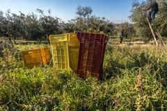 Paniers de plantation d'arbre d'Olive Harvest In Italian Olive image libre de droits