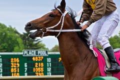 Panikslagen tävlings- häst Arkivbilder