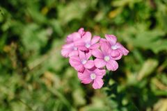 Paniusi rakiety kwiat lub lasu hesperis kwitniemy w Maj?w drewnach Purpurowi Wildflowers Nocy fio?kowa s?odka rakieta, wiecz?r obraz royalty free