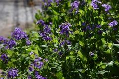 Paniusi rakiety kwiaty zdjęcie royalty free