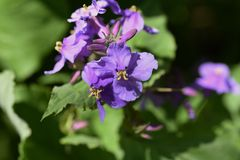 Paniusi rakiety kwiaty fotografia royalty free