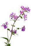 Paniusia Kwiat Rakietowy Dziki Zdjęcie Royalty Free