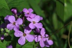 Paniusia Rakietowy kwiat Zdjęcia Royalty Free