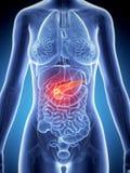 Pankreas cance vektor abbildung