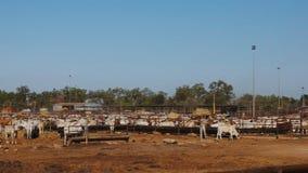 Panna av av australiskt brahmannötköttnötkreatur stock video