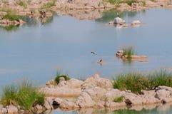 Panna flod och rivebed på Panna National Park, Madhya Pradesh, Indien Royaltyfri Bild