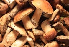 Funghi della foresta Immagine Stock