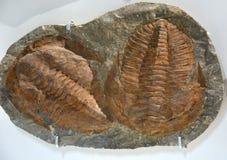 Pannello di pietra con due fossili delle trilobiti marine estinte Fotografia Stock