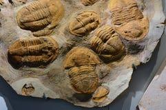 Pannello di pietra con i fossili delle trilobiti marine estinte Immagine Stock