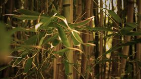Panning across a cinematic golden sepia magical bamboo forest in morning.  stock footage