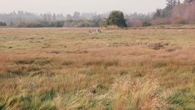 Panning across grass covered marshland in western washington stock video footage