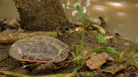 Panning camera land turtles sleep on ground near stream 4k footage stock video