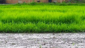 Panning footage of rice paddy field in the evening stock video