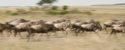 A panning image of wildebeest running through the savannah stock images