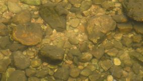 Panning of little Gouramies fish swimming and diving in clear river stock video