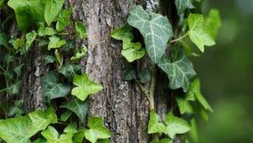 Panning mening van Engelse de Schroefklimplant van klimophedera op broadleaf boom, 4K stock video